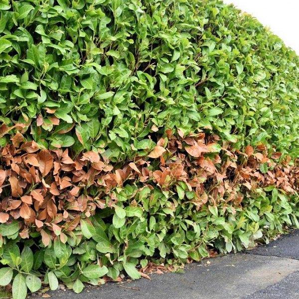 burnt_hedge_leaves_virgin_media