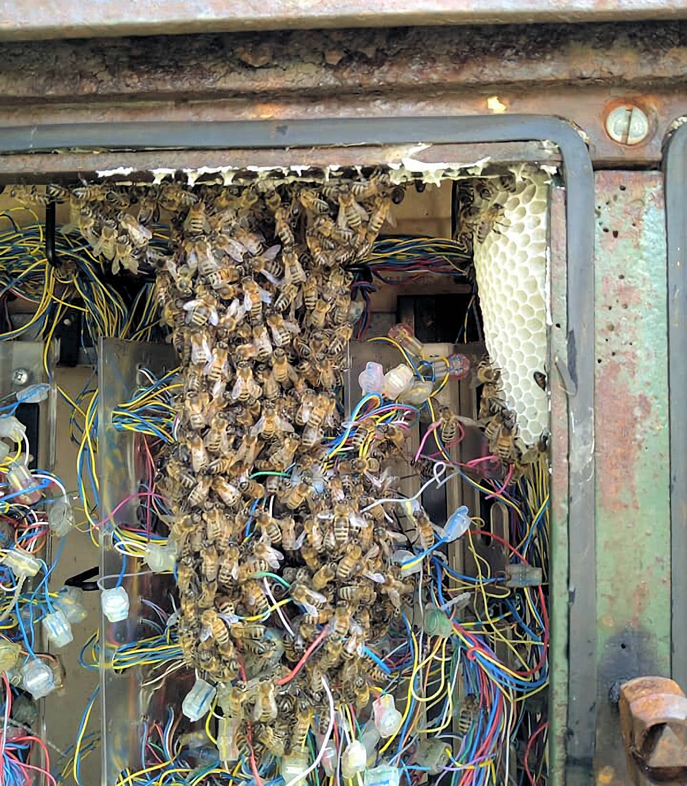 Bees-in-Openreach-PCP-Cabinet-in-Cornwall-UK